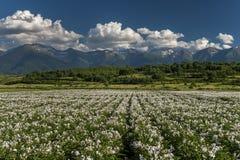 Feld mit blühender Kartoffel am Fuß des Berges Stockfotografie