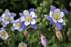 Feld mit Blumen blauer Akelei Rocky Mountains Lizenzfreies Stockbild