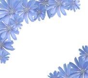 Feld mit Blumen (Zichorie) Lizenzfreies Stockfoto