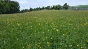 Feld mit Butterblumeen lizenzfreies stockfoto