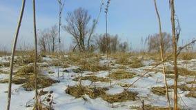 Feld mit dem Gras draußen eingefroren und Schnee weg Baumwinterlandschaftsteadicam Russlands totem stock video footage