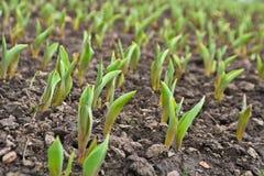 Feld mit dem Pflanzen stockfoto