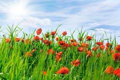 Feld mit den blühenden Mohnblumen Lizenzfreie Stockbilder