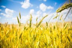 Feld mit den gelben Ohren Stockfotos