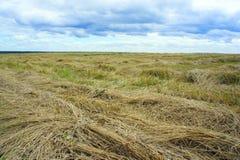 Feld mit den geschnittenen Ohren des Weizenabschlusses oben Stockfotos