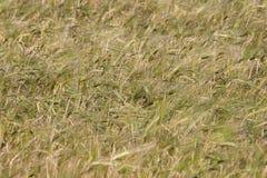 Feld mit den Ohren des Weizenbeeinflussens Stockbild