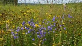 Feld mit einer Vielzahl des Grases und der Blumen Ährchen, gelbe Blume von Hypericum, Blumenglocken am Sommertag Naturweg Feld stock footage