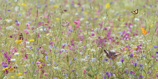Feld mit Frühlingsblumen und -schmetterlingen Stockfotografie
