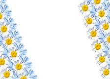 Feld mit Gänseblümchen und Zichorie Stockbild