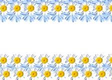 Feld mit Gänseblümchen und Zichorie Stockfoto