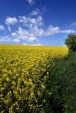 Feld mit gehauenem Mais und Wolken Stockfotos