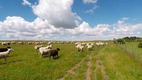 Feld mit gehenden Schafen stock footage