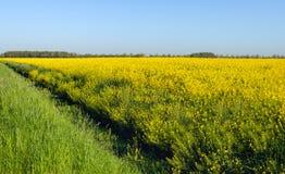Feld mit gelbem blühendem Rapssamen entlang einem Abzugsgraben Lizenzfreie Stockfotos