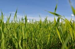 Feld mit gelbem Löwenzahn und blauem Himmel Lizenzfreie Stockfotos