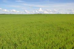 Feld mit gelbem Löwenzahn und blauem Himmel Stockfoto