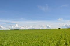 Feld mit gelbem Löwenzahn und blauem Himmel Stockbild