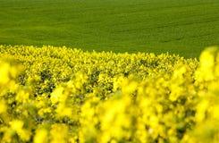 Feld mit gelbem Raps Stockbilder