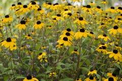 Feld mit gelbem Rudbeckia lizenzfreies stockfoto