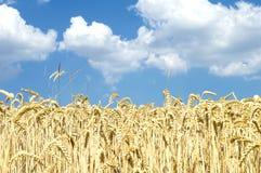 Feld mit gelbem Weizen gegen den blauen Himmel Lizenzfreies Stockfoto