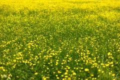 Feld mit gelben Blumen Stockbilder