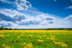 Feld mit gelben Blumen Stockfotos