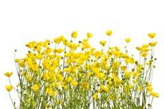 Feld mit gelben Butterblumeen auf einem weißen Hintergrund lizenzfreie stockfotos