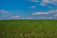 Feld mit grünem Korn stockbild