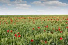 Feld mit grünem Weizen Lizenzfreies Stockfoto