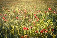 Feld mit grünen Trieb des Kornes und der Mohnblume blüht Lizenzfreie Stockfotos