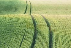 Feld mit grüner Ernte lizenzfreies stockbild