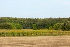 Feld mit Grünkern Stockbild
