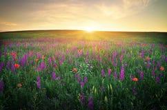 Feld mit Gras, violetten Blumen und roten Mohnblumen Lizenzfreies Stockbild