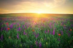 Feld mit Gras, violetten Blumen und roten Mohnblumen Lizenzfreie Stockfotos