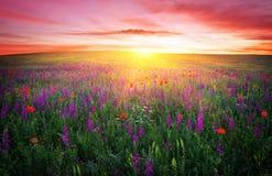 Feld mit Gras, violetten Blumen und roten Mohnblumen Stockfoto