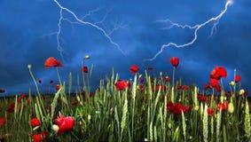 Feld mit hellen blühenden Mohnblumen Stockbild