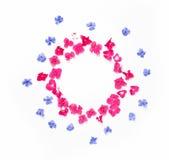 Feld mit Hortensieblume und blaue Bleiwurz blühen an lokalisiert Stockfotografie