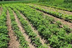 Feld mit Kartoffelpflanzeernten Stockfotos