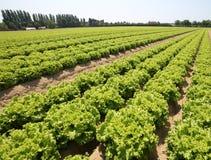 Feld mit Kopfsalat im Sommer auf dem fruchtbaren sandigen Boden Lizenzfreies Stockfoto