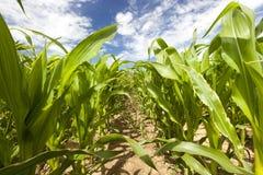 Feld mit Mais Lizenzfreie Stockbilder