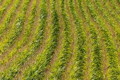 Feld mit Mais im Sommer Stockbild