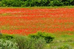Feld mit Mohnblumen Stockfotografie