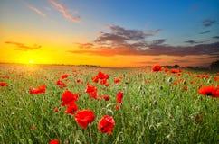 Feld mit Mohnblumen Stockfoto