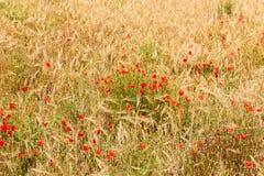 Feld mit Mohnblumen Lizenzfreies Stockbild