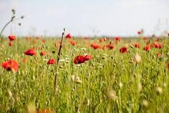 Feld mit Mohnblumen Stockbild