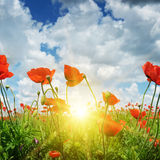 Feld mit Mohnblumen und Sonne Stockfoto