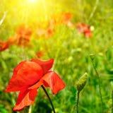 Feld mit Mohnblumen und Sonne Stockbilder