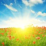 Feld mit Mohnblumen und Sonne auf Himmel Lizenzfreies Stockfoto