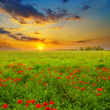 Feld mit Mohnblumen und Sonnenaufgang Stockfotografie