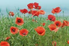 Feld mit Mohnblumen unter Himmel Lizenzfreie Stockfotografie