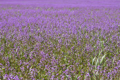 Feld mit purpurroten Blumen lizenzfreie stockfotos